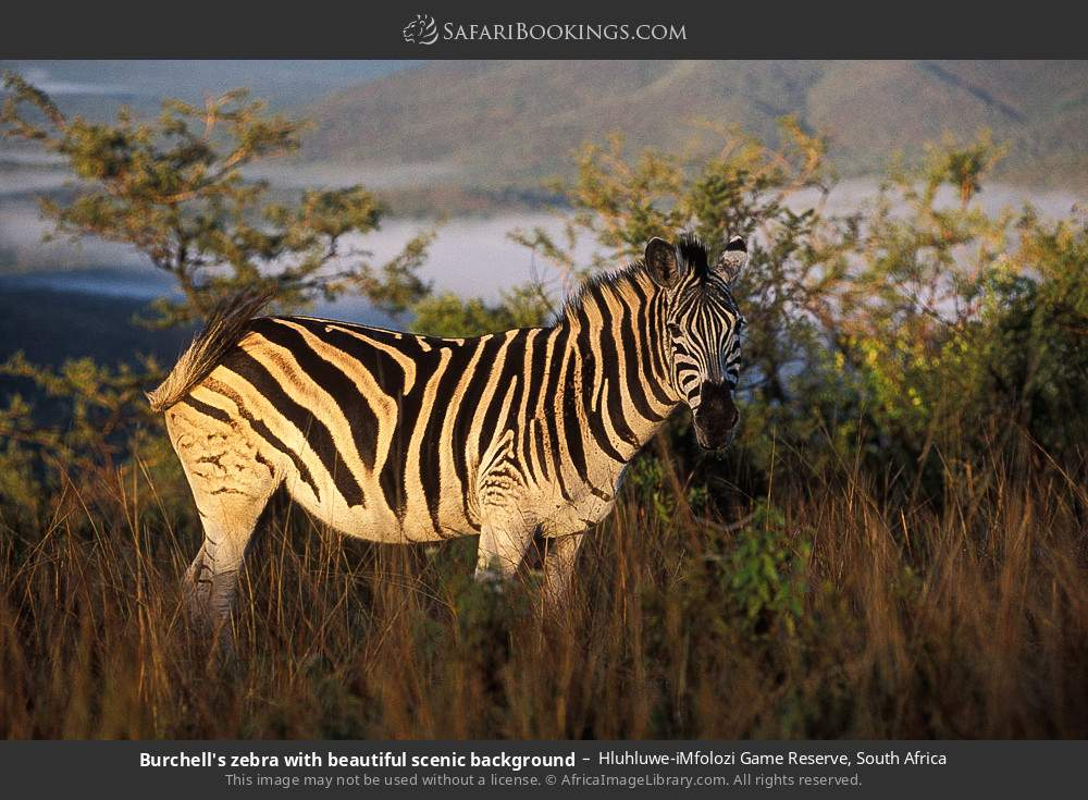 Burchell's zebra with beautiful scenic background in Hluhluwe-Umfolozi Game Reserve, South Africa