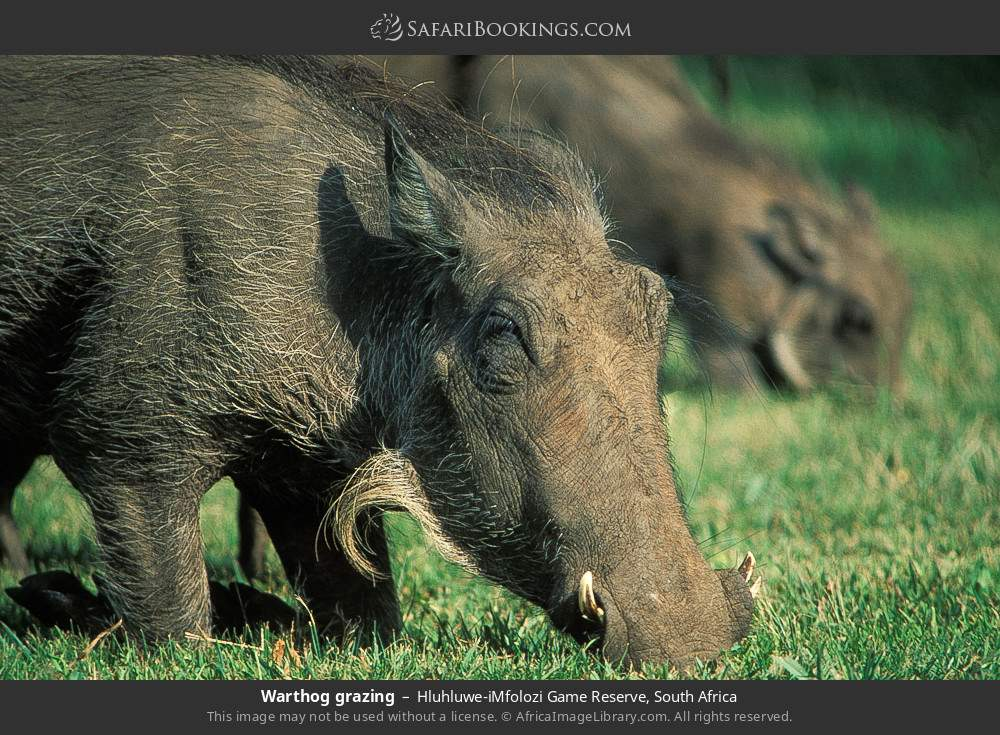 Warthog grazing in Hluhluwe-Umfolozi Game Reserve, South Africa