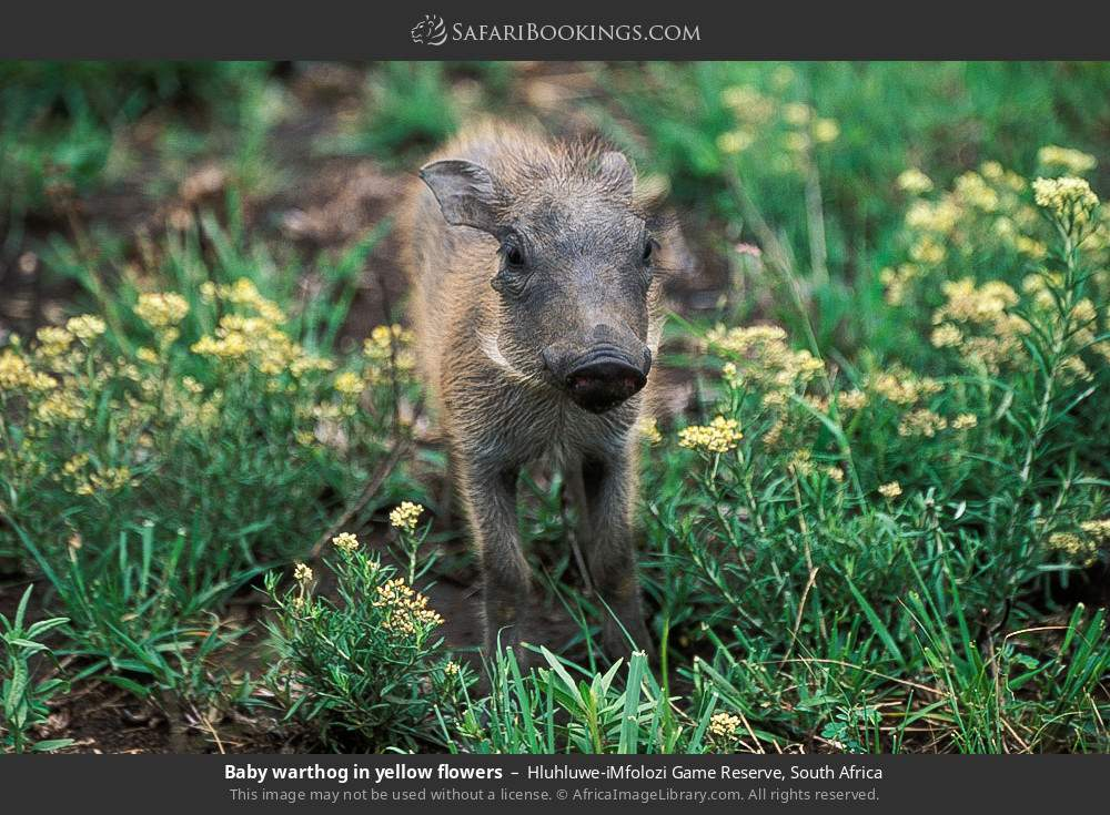 Baby warthog in yellow flowers in Hluhluwe-Umfolozi Game Reserve, South Africa