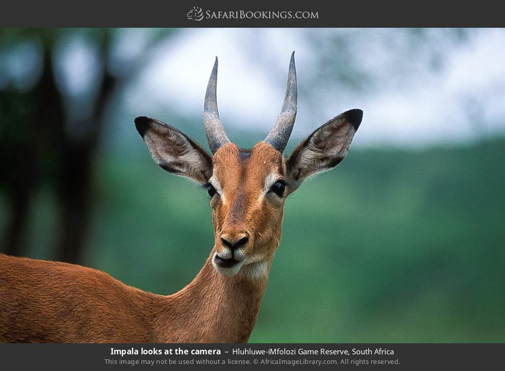 Impala looks at the camera in Hluhluwe-Umfolozi Game Reserve, South Africa