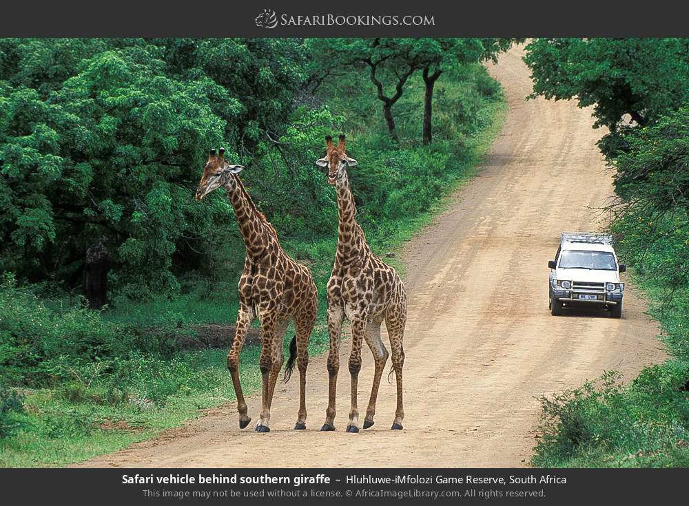 Safari vehicle behind southern giraffe in Hluhluwe-Umfolozi Game Reserve, South Africa