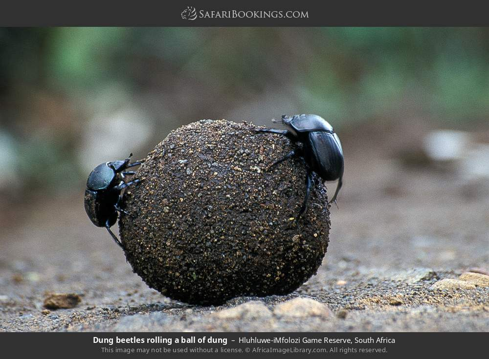 Dung beetles rolling a ball of dung in Hluhluwe-Umfolozi Game Reserve, South Africa