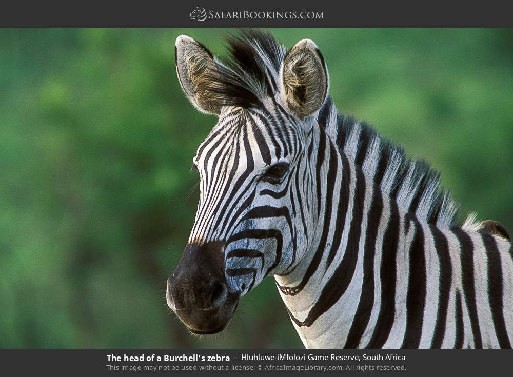 The head of a Burchell's zebra in Hluhluwe-Umfolozi Game Reserve, South Africa
