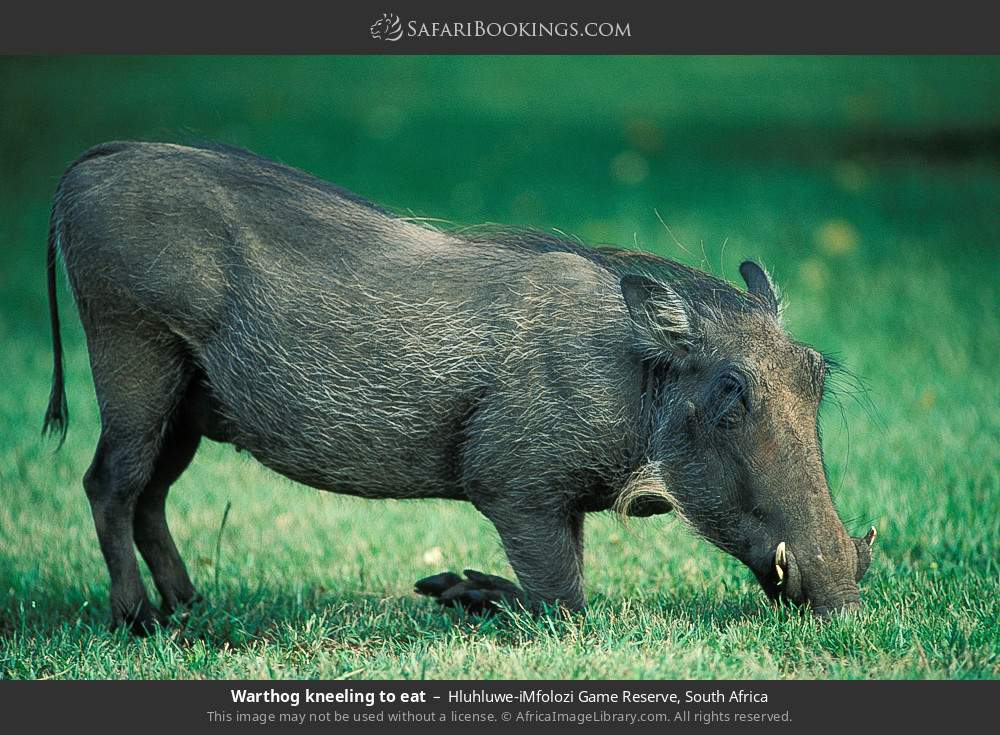Warthog kneeling to eat in Hluhluwe-Umfolozi Game Reserve, South Africa