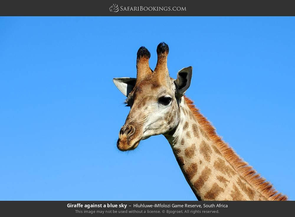 Giraffe against a blue sky in Hluhluwe-Umfolozi Game Reserve, South Africa