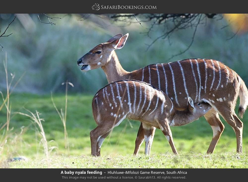 A baby nyala feeding in Hluhluwe-Umfolozi Game Reserve, South Africa