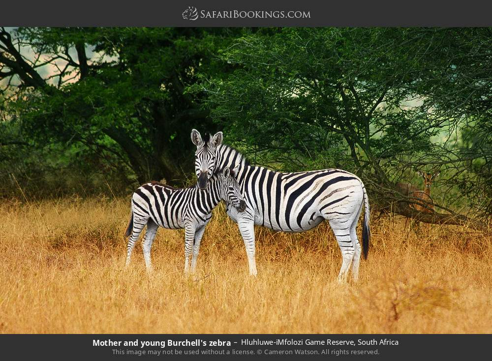 Mother and young Burchell's zebra in Hluhluwe-Umfolozi Game Reserve, South Africa