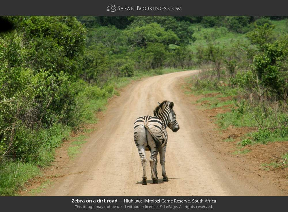 Zebra on a dirt road in Hluhluwe-Umfolozi Game Reserve, South Africa
