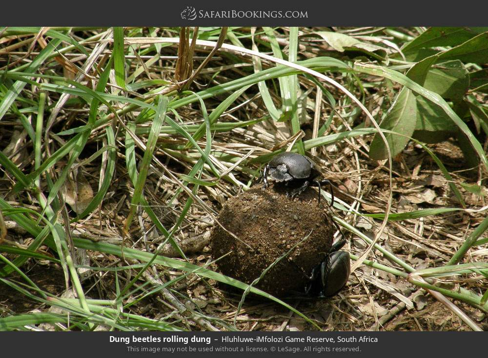 Dung beetles rolling dung in Hluhluwe-Umfolozi Game Reserve, South Africa