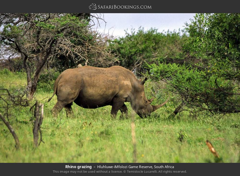 Rhino grazing in Hluhluwe-Umfolozi Game Reserve, South Africa