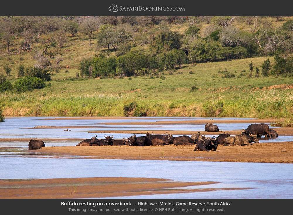 Buffalo resting on a river bank in Hluhluwe-Umfolozi Game Reserve, South Africa