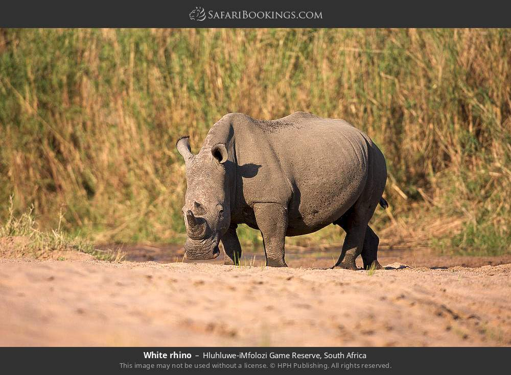 White rhino in Hluhluwe-Umfolozi Game Reserve, South Africa