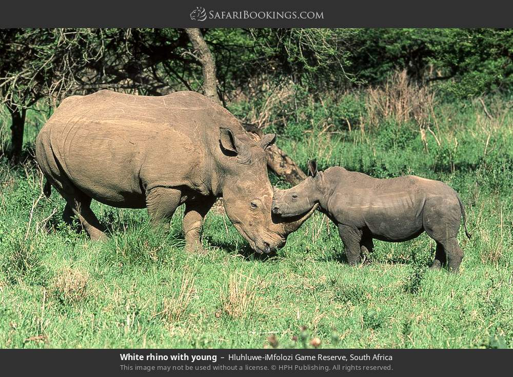 White rhino with young in Hluhluwe-Umfolozi Game Reserve, South Africa