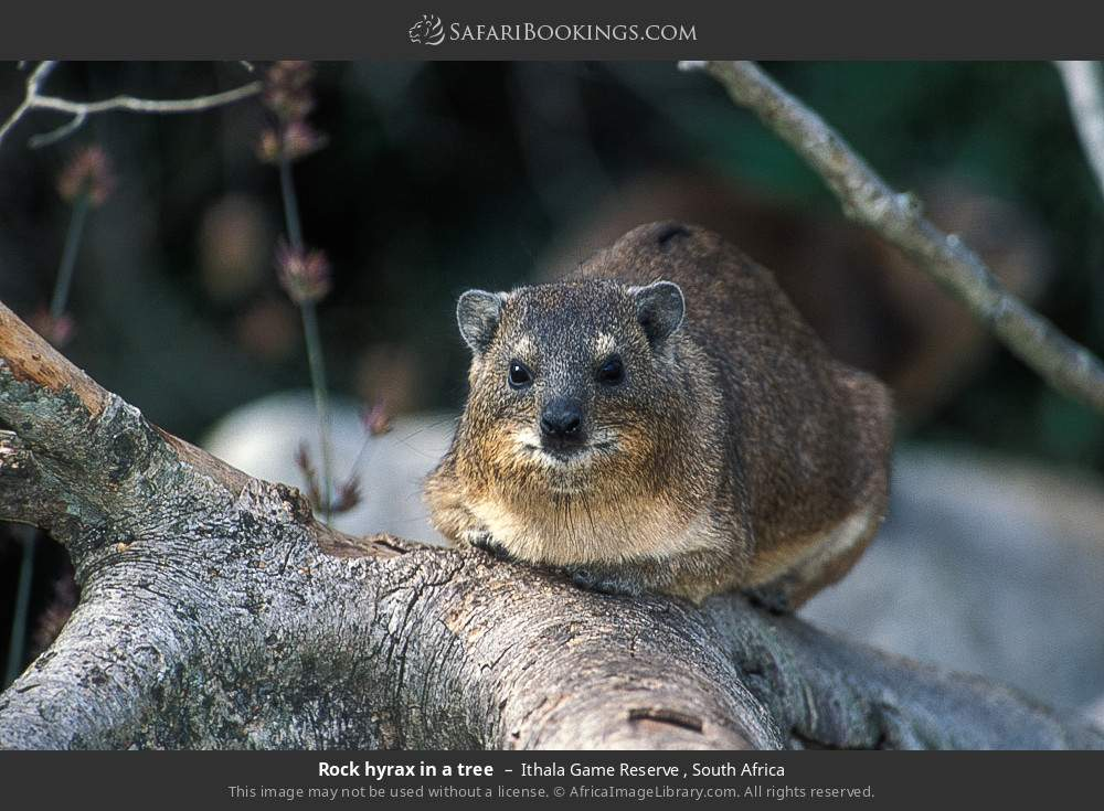 Rock hyrax in a tree in Ithala Game Reserve , South Africa