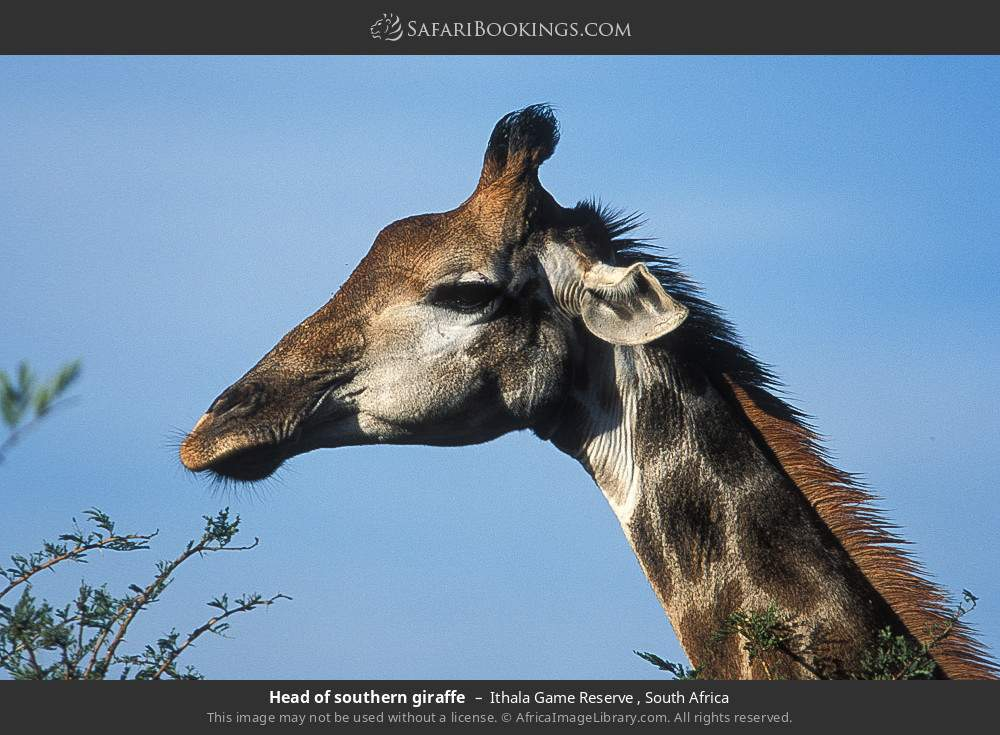Head of Southern giraffe in Ithala Game Reserve , South Africa