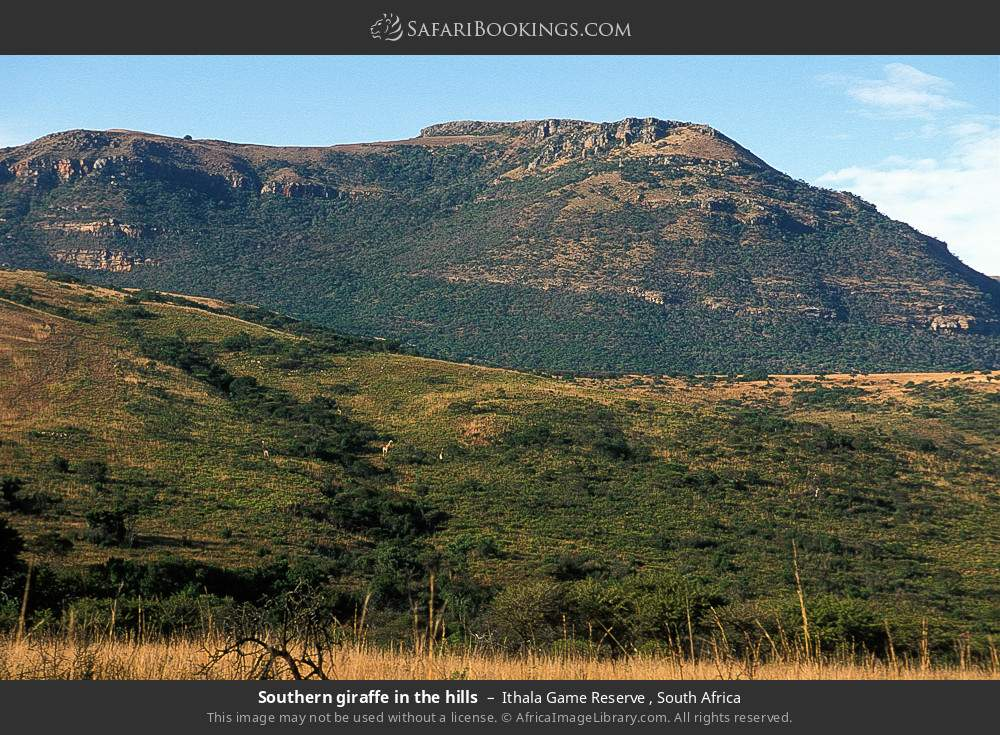 Southern giraffe in the hills in Ithala Game Reserve , South Africa