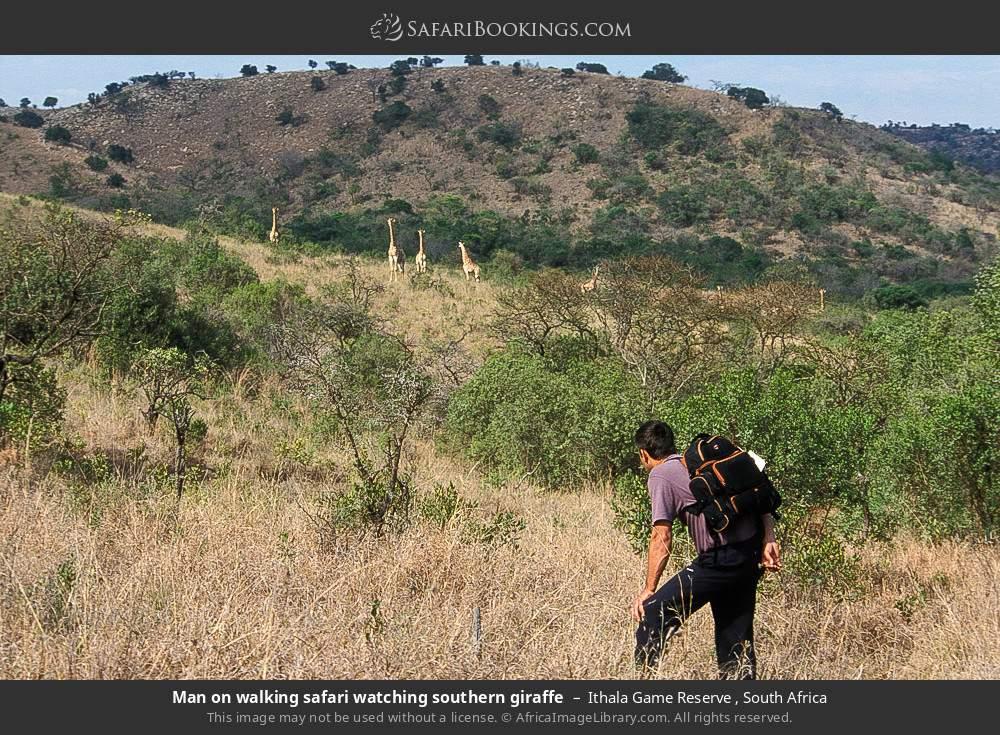 Man on walking safari watching Southern giraffe in Ithala Game Reserve , South Africa