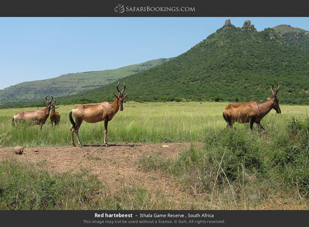 Red hartebeest in Ithala Game Reserve , South Africa