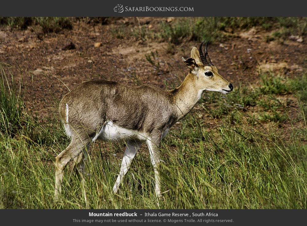Mountain reedbuck in Ithala Game Reserve , South Africa