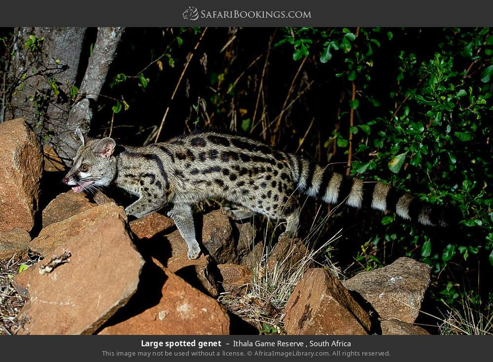 Large spotted genet in Ithala Game Reserve , South Africa