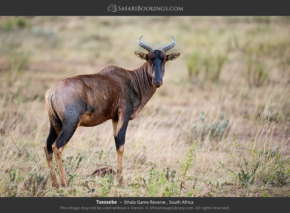 Tsessebe in Ithala Game Reserve , South Africa