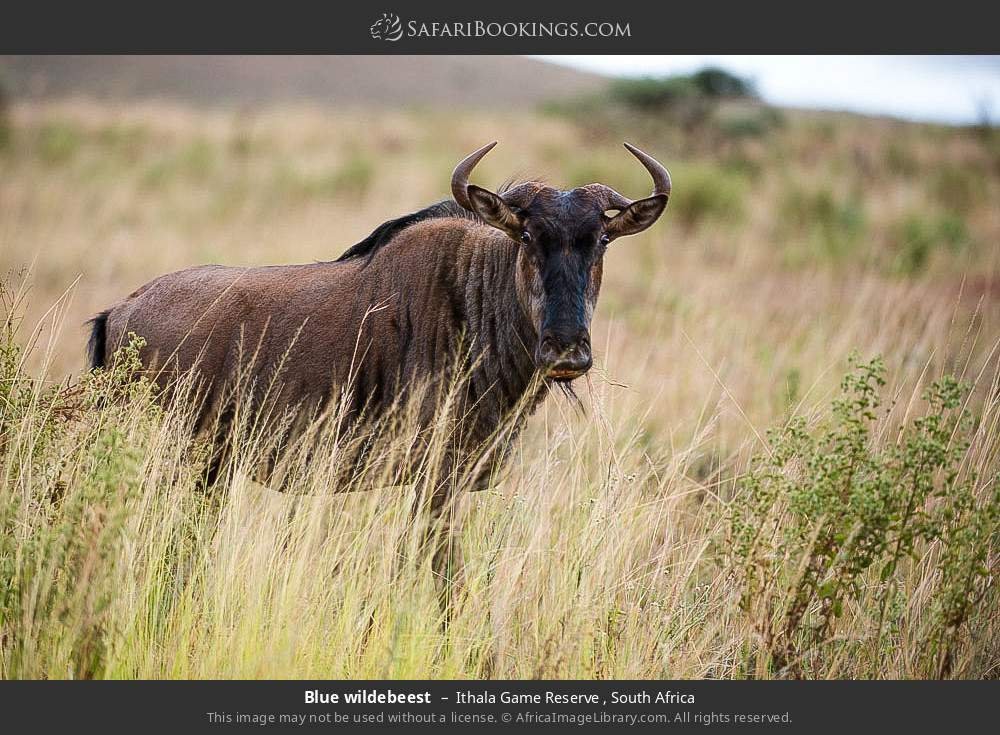 Blue wildebeest in Ithala Game Reserve , South Africa