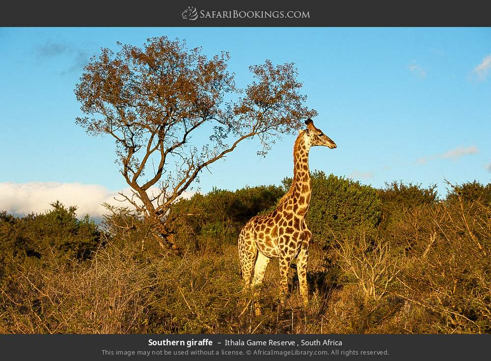 Southern giraffe in Ithala Game Reserve , South Africa
