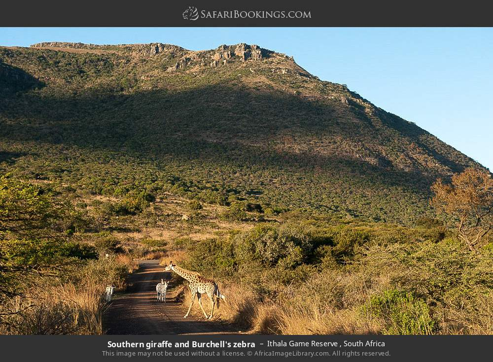 Southern giraffe and Burchell's zebra in Ithala Game Reserve , South Africa