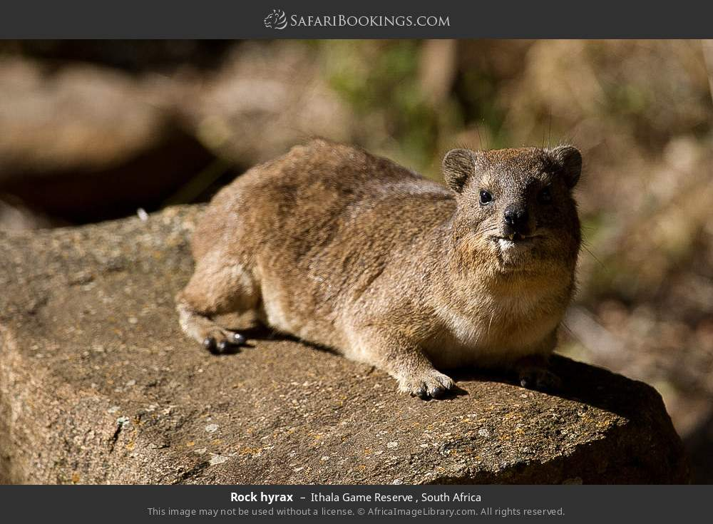 Rock hyrax in Ithala Game Reserve , South Africa