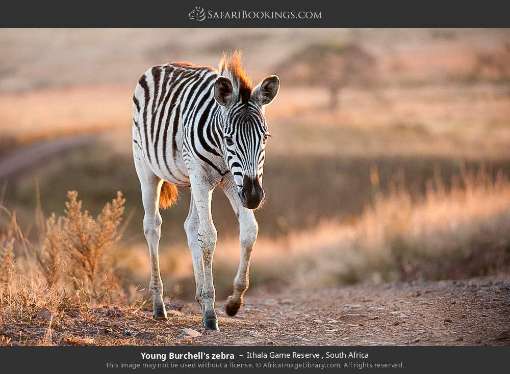 Young Burchell's zebra in Ithala Game Reserve , South Africa