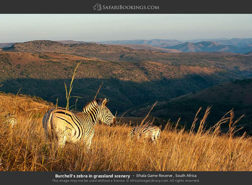 Burchell's zebra in grassland scenery in Ithala Game Reserve , South Africa