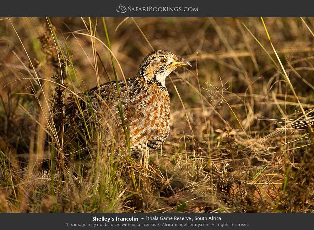 Shelley's francolin in Ithala Game Reserve , South Africa