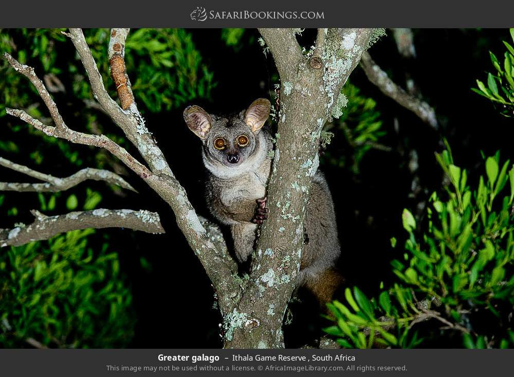 Thick-tailed galago in Ithala Game Reserve , South Africa
