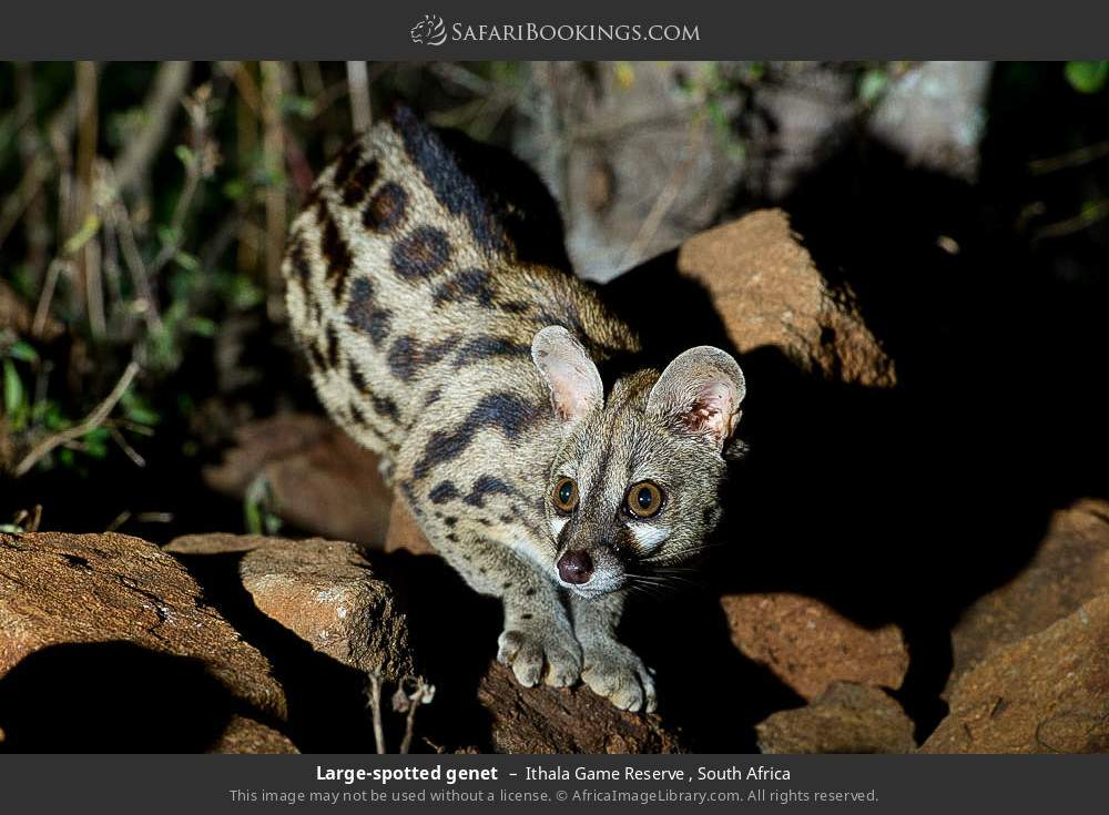 Large-spotted genet in Ithala Game Reserve , South Africa