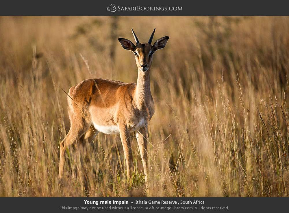 Young male impala in Ithala Game Reserve , South Africa