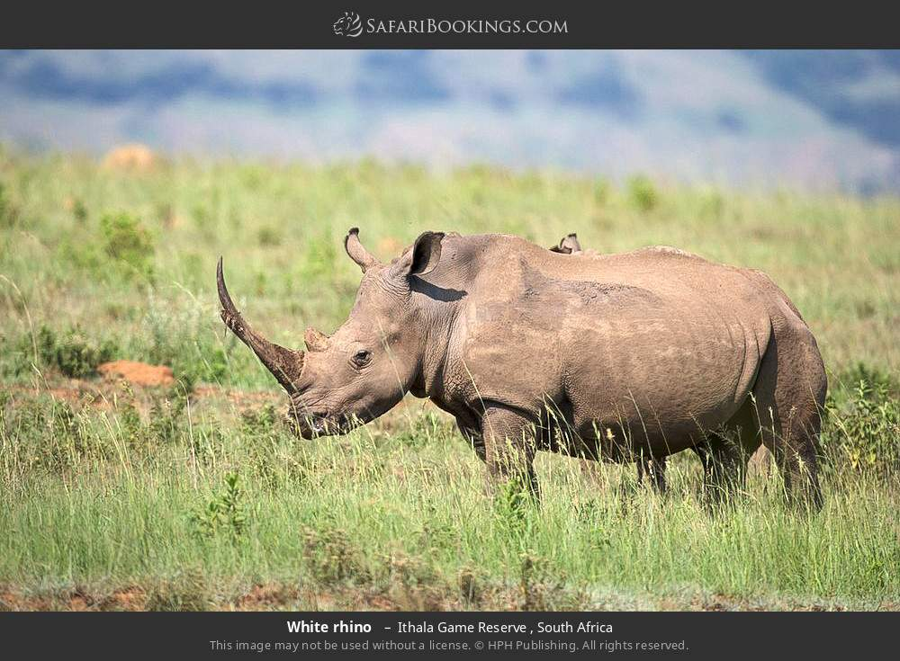 White rhino  in Ithala Game Reserve , South Africa