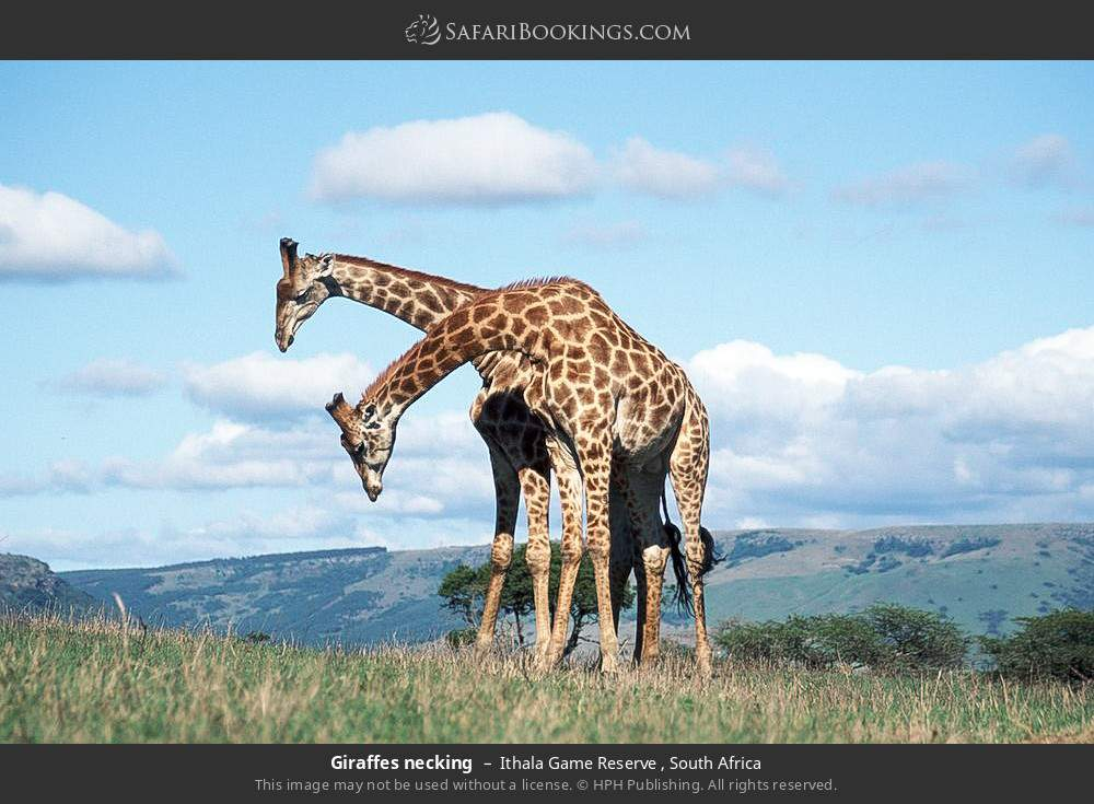 Giraffes necking in Ithala Game Reserve , South Africa