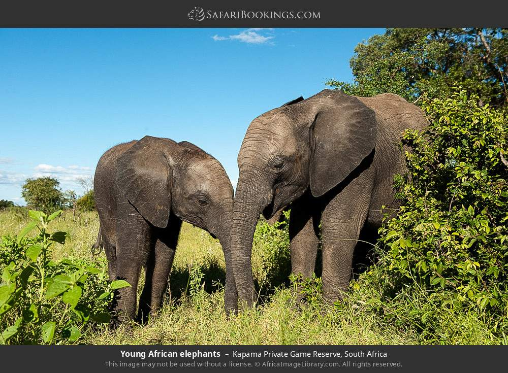 Young African elephants in Kapama Private Game Reserve, South Africa