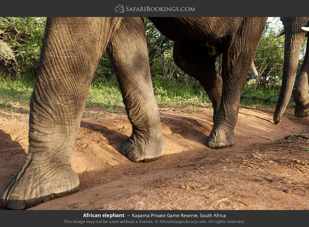 African elephant in Kapama Private Game Reserve, South Africa