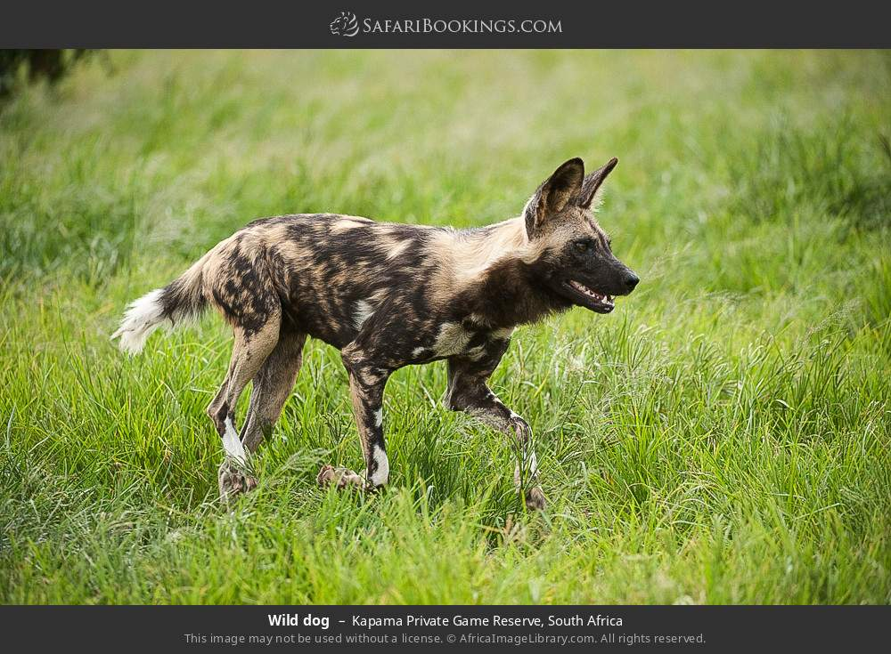 Wild dog in Kapama Private Game Reserve, South Africa