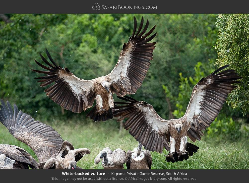 White-backed vulture in Kapama Private Game Reserve, South Africa