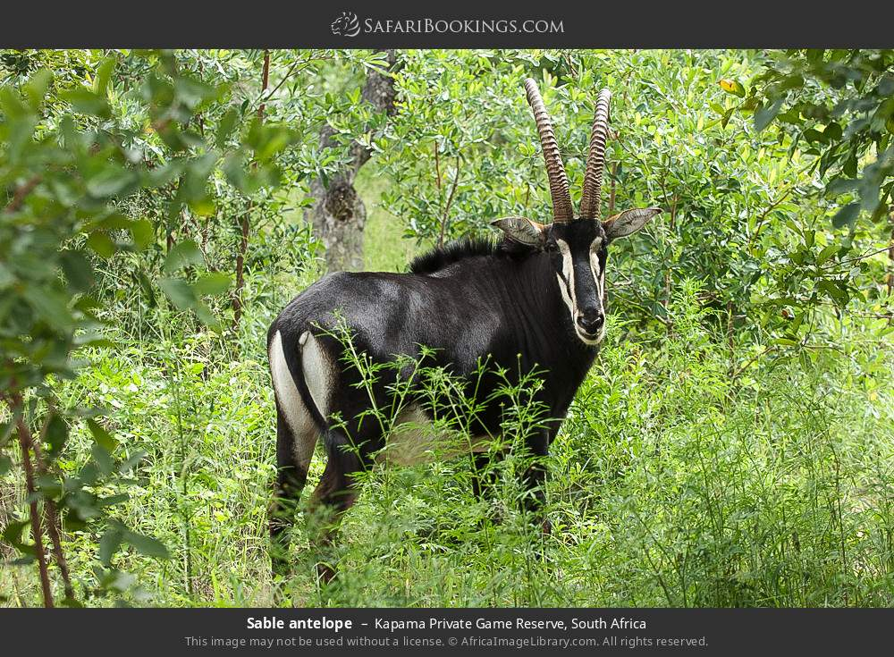 Sable antelope in Kapama Private Game Reserve, South Africa