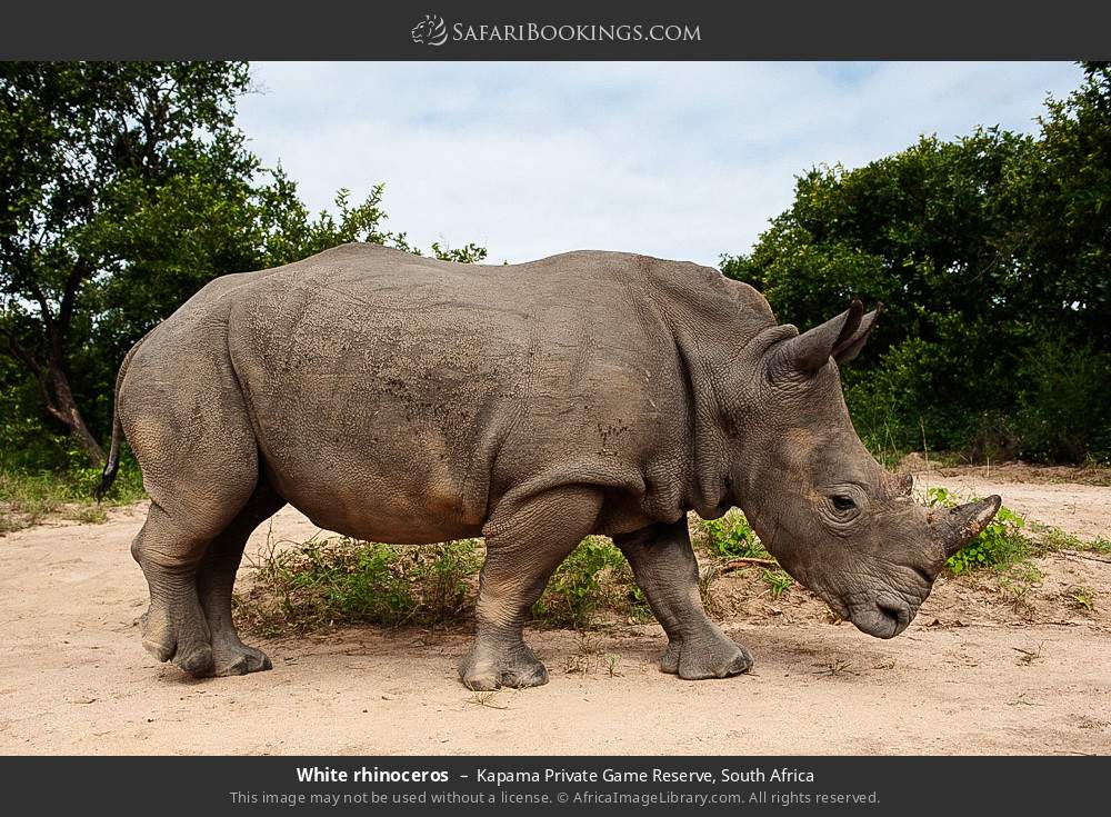 White rhinoceros in Kapama Private Game Reserve, South Africa