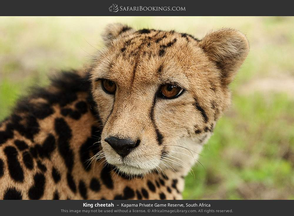 King cheetah in Kapama Private Game Reserve, South Africa