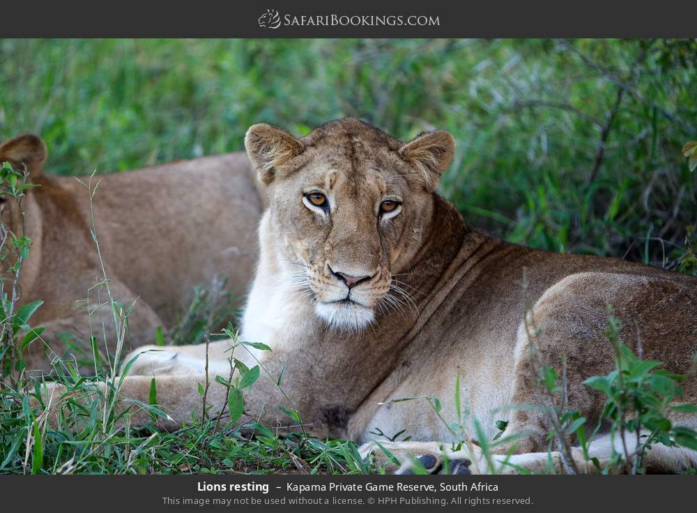 Lions resting in Kapama Private Game Reserve, South Africa