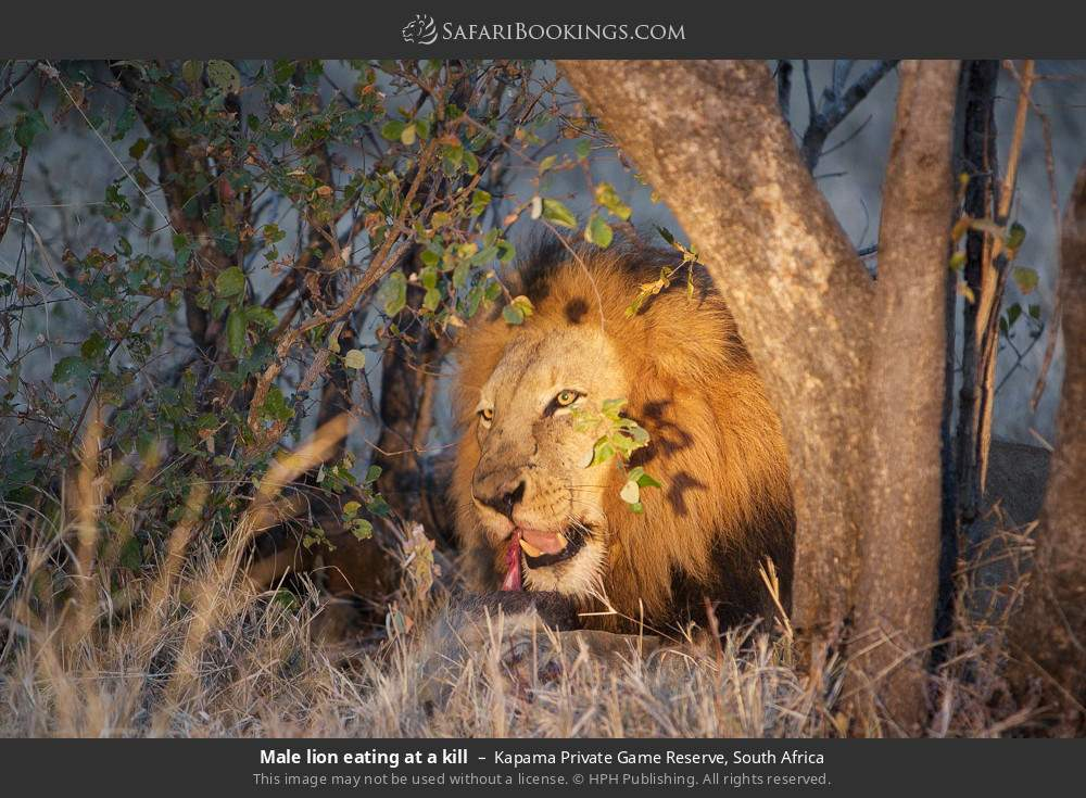 Male lion eating at a kill in Kapama Private Game Reserve, South Africa