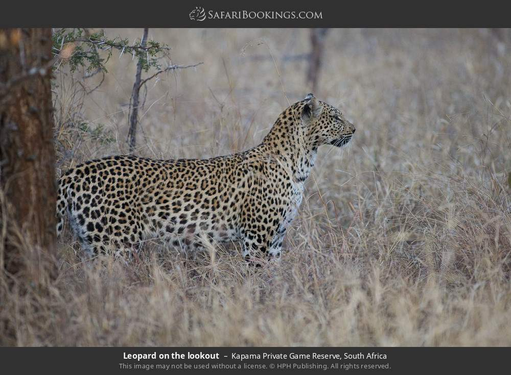 Leopard on the lookout in Kapama Private Game Reserve, South Africa