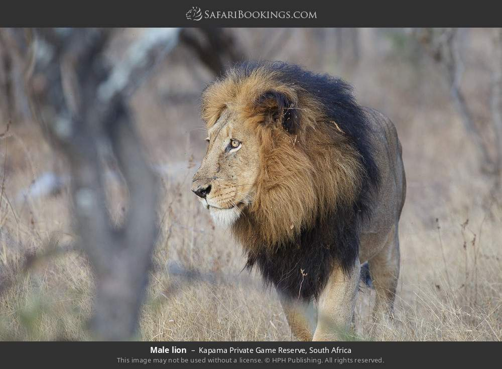 Male lion in Kapama Private Game Reserve, South Africa