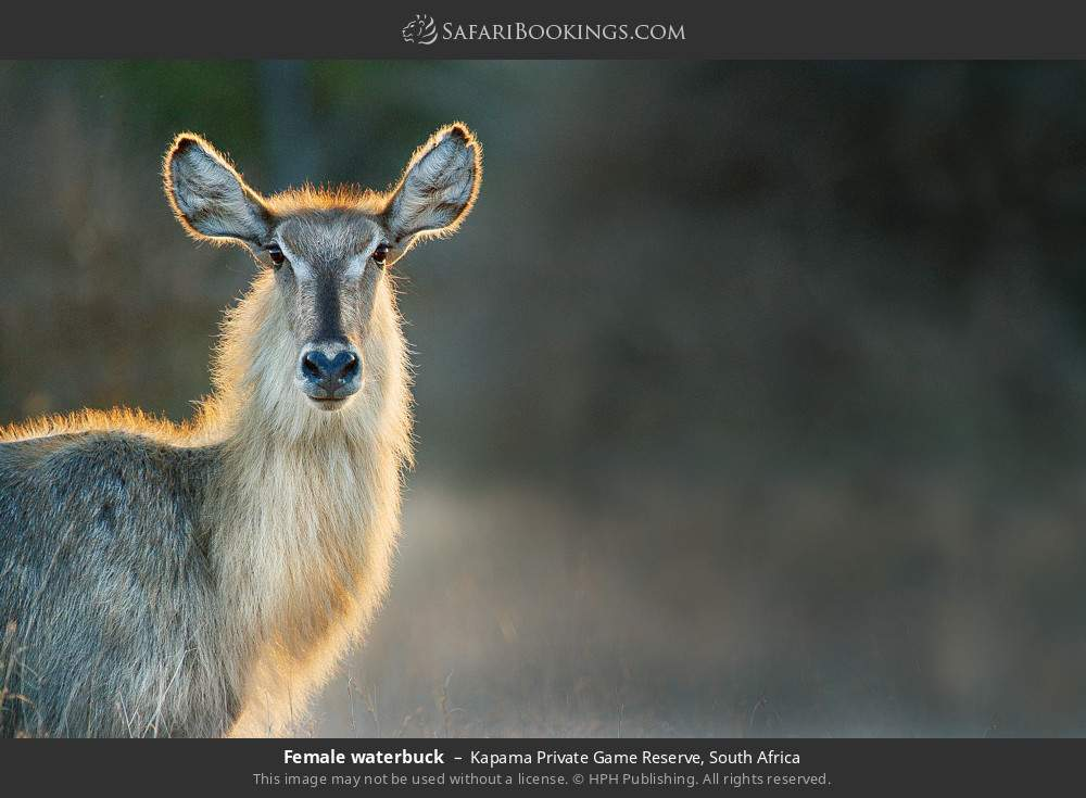 Female waterbuck in Kapama Private Game Reserve, South Africa