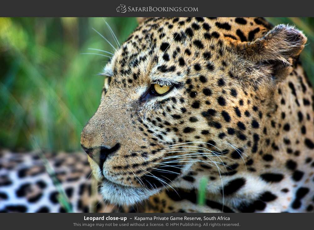 Leopard close up in Kapama Private Game Reserve, South Africa